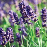 Teas From The Garden – Lavender