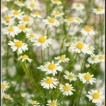 Teas From The Garden – Chamomile