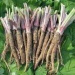 Teas From The Wild – Burdock Root