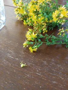 st johnswort flowers